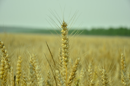 jiangsu: The mature wheat field at Dafeng Jiangsu, China. Stock Photo