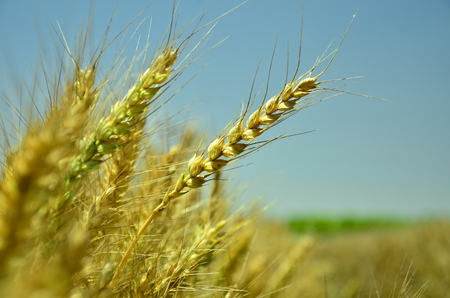 jiangsu: The mature wheat field under the blue sky at Dafeng Jiangsu ,China.
