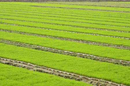 jiangsu: seedlings fields at Jiangsu Dafeng,China.
