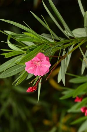 oleander: Pink Oleander Stock Photo