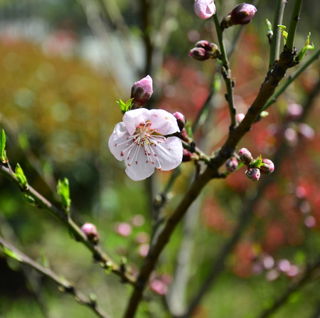 bloom: Peach blossom in full bloom