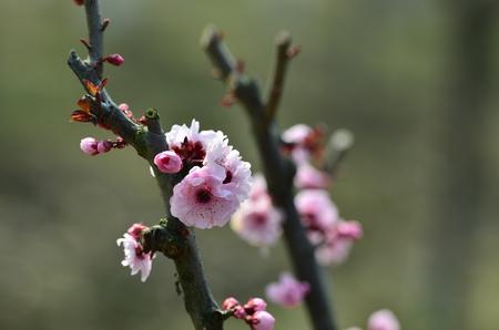 in bloom: plum flower in full bloom Stock Photo
