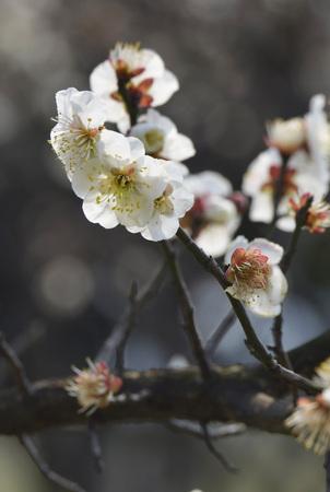 plum flower: plum flower in full bloom Stock Photo