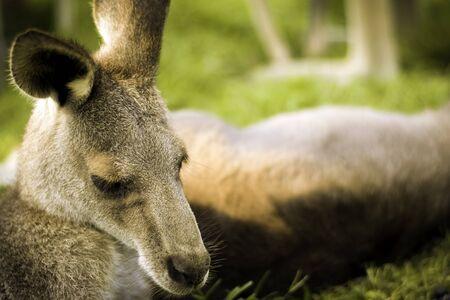 The kangaroo take short time to rest