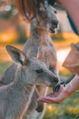 The red kangaroo is fed by tourist in Currumbin widlife sanctuary