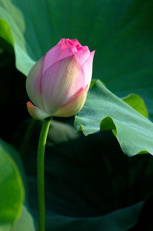 Lotus Baden im Fr�hsommer Sonnenschein.