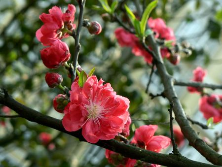 Peach open in the spring. Stock Photo - 4791123