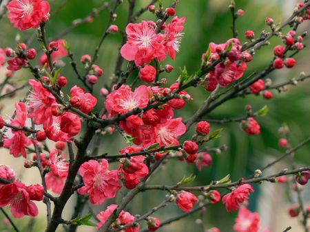 Peach open in the spring. Stock Photo - 4791129