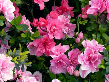 Azaleas. Stock Photo