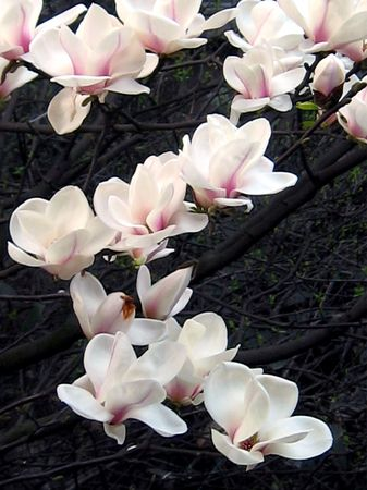 Magnolia in full bloom in the spring flowers.