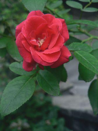 Chinese rose Stock Photo - 8197027