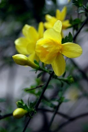 Winter jasmine photo