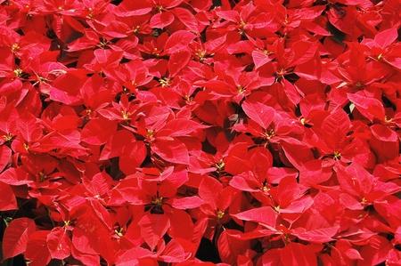 Poinsettia Blumen Lizenzfreie Bilder