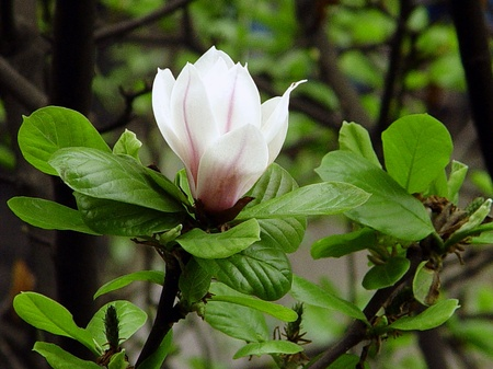 Magnolia                              Stock Photo - 10413642