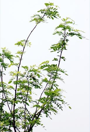 Acacia new branch
