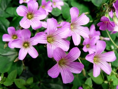 oxalis: Purple flowers