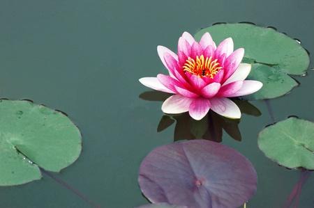 lotus leaf: Lotus