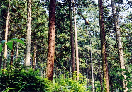 Chinese fir forest