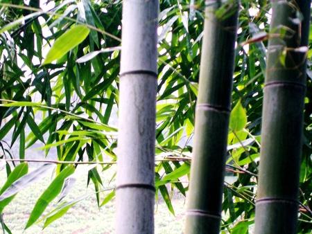 south sichuan: Bamboo