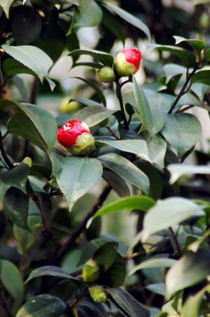 south sichuan: Camellia
