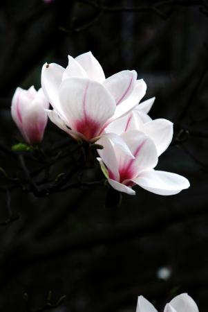 south sichuan: Magnolia