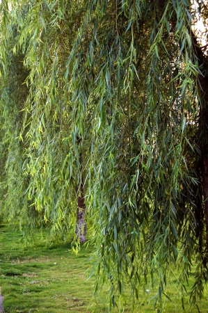 south sichuan: The willow tree Stock Photo