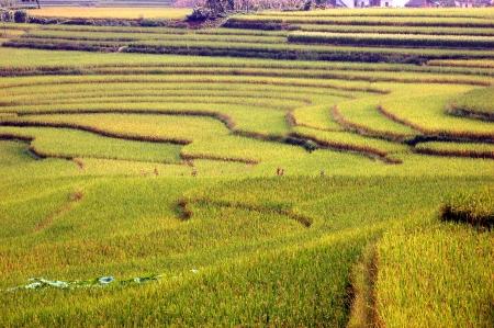 xuyong: Golden fields of Stock Photo