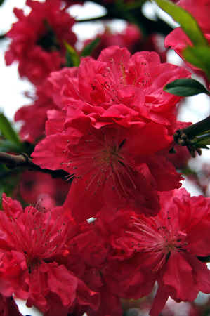 south sichuan: Peach blossom