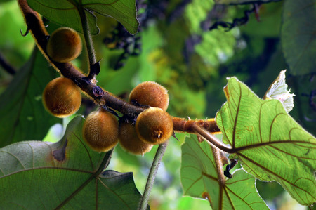 national fruit of china: Wild plants