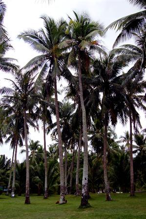 turismo ecologico: Cocoteros Hainan Foto de archivo