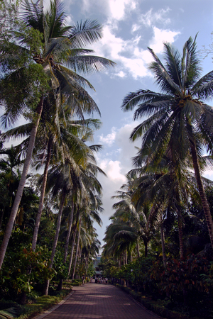 turismo ecologico: Coconut trees along the walkway