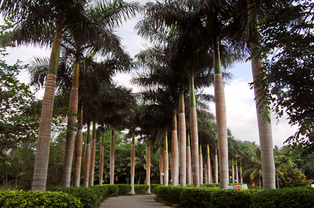 tress: Landscape view of a garden pathway with coconut tress along side Stock Photo
