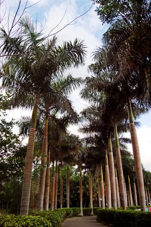 Coconut trees along side
