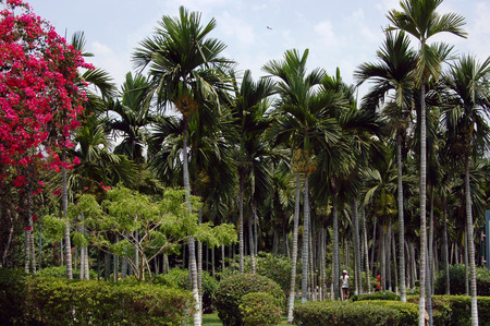 betelnut: coconut tree