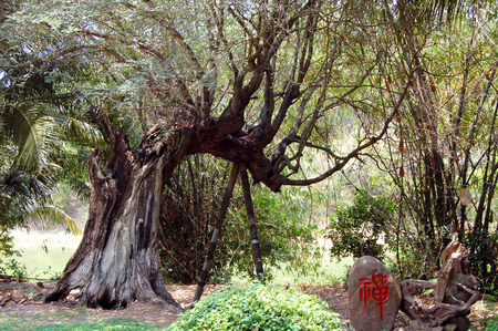 turismo ecologico: Los viejos árboles Foto de archivo