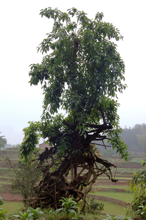 south sichuan: Close up to Ficus virens