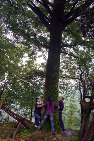 The ancient ginkgo tree Editorial