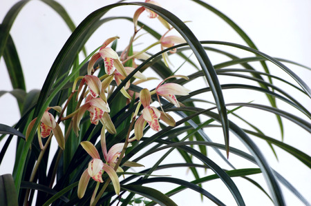 south sichuan: Chinese orchids Stock Photo