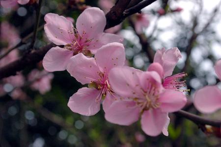 flor de durazno: Flor de durazno