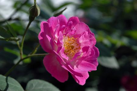 south sichuan: rose