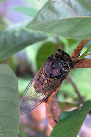 cicada: cigarra