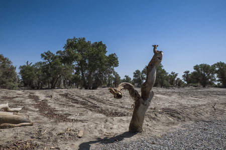 xinjiang: Xinjiang Crimean Populus euphratica forest Banque d'images