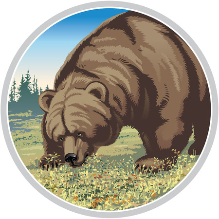 tundra: Bear chewing berries. Vector illustration. Illustration