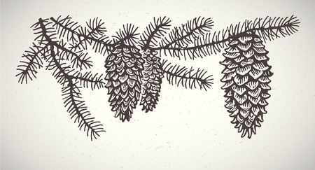 spruce: Spruce branches with cones. Graphic element.