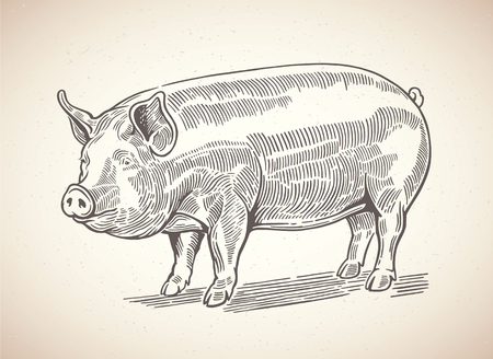 corral: Illustration of pig in graphic style. Drawing by hand.