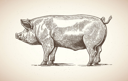 pork meat: Illustration of pig in graphic style. Drawing by hand.