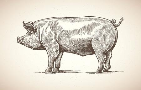 embutidos: Ilustración de cerdo en el estilo gráfico. Dibujo a mano.