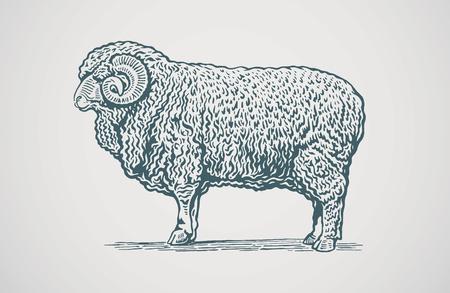 sheep wool: Vector illustration of graphical ram. Illustration
