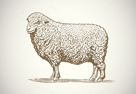 Sheep in graphic style. Drawing by hand. Vector illustration. Illustration