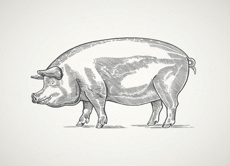 Pig in graphic style, hand drawn illustration. Vectores